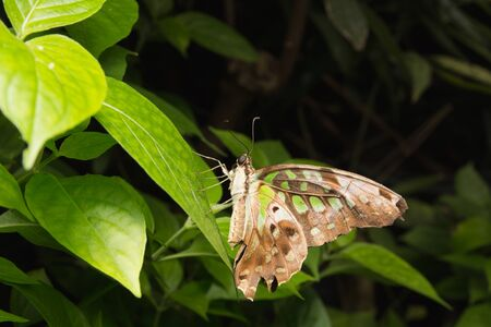 Close up of Tailed Jay (Graphium agamemnon) butterfly in nature Stock Photo