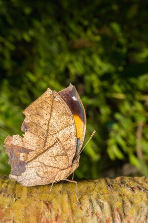 With wings closed, the leafwing butterfly bears a remarkable resemblance to a dead leaf.