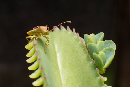 pentatomidae: Nature image showing details of insect life: closeup  macro of a hemiptera Nezara Viridula Heteroptera pentatomidae palomera prasina on a leaf. Stock Photo