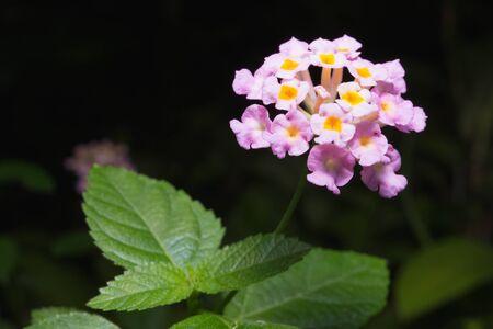 lantana: Brilliant lantana (Lantana camara) blooms.On black Background.