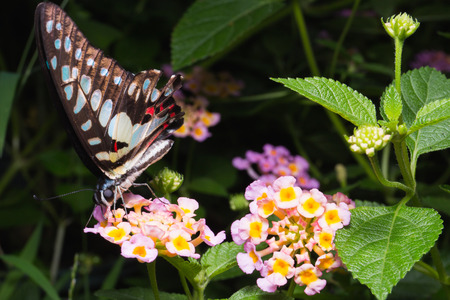 stomach bug: Close up of Tailed Jay (Graphium agamemnon) butterfly on Brilliant lantana Stock Photo