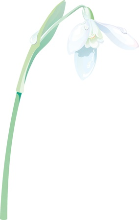 Spring white snowdrop flower background (vector illustration) Illustration
