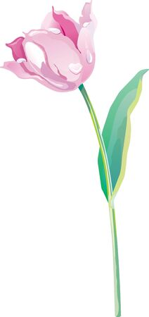 Spring tulip on a white background