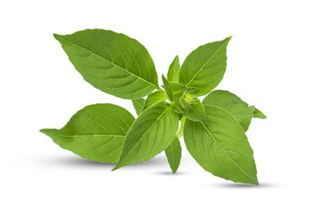 Green fresh lemon basil leaves isolated on white background with clipping path.