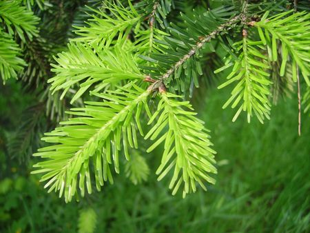 needle tip: a close detail of a new green abies brunch