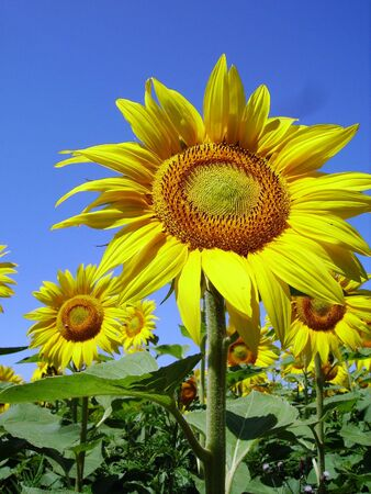 florets: Sunflower big one in close view showing face Stock Photo