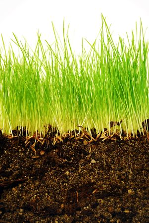 Growing grass with roots in earth in close-up photo
