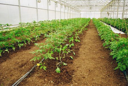 Young green tomatoes row in a medium plastic greenhouse Banco de Imagens - 6658052