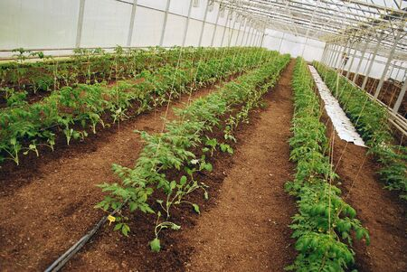Young green tomatoes row in a medium plastic greenhouse photo