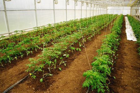 Young green tomatoes row in a medium plastic greenhouse