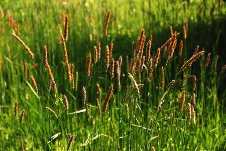grass verge: Fioritura alti erba deriva in primavera e sfondo naturale