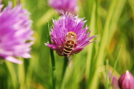 Honey bee on a pink flower in natural background photo