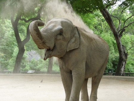 elephant trunk: Elephant having a nice dirt shower in the afternoon at the zoo