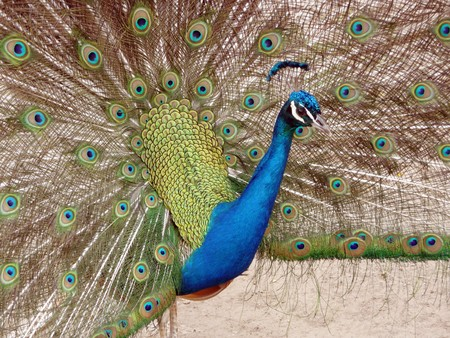 flaunt: Peacock in Full Display blue green red yellow feathers Stock Photo