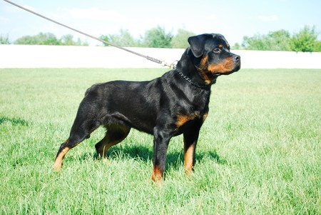 Good looking rottweiler standing in a grassy field Foto de archivo