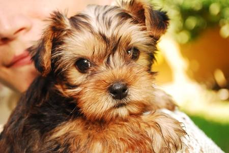 yorky: Retrato de un littleYorkshire Terrier mirando muy dulce Foto de archivo
