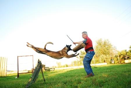 障害を飛び越える純血種のベルギーの羊飼い犬と男を攻撃 写真素材