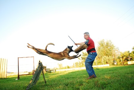 purebred belgian shepherd dog jumping over an obstacle and attacking a man Foto de archivo