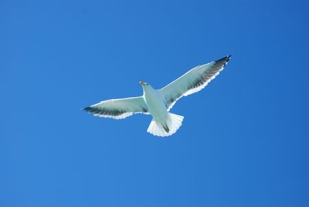 Flying seagull in blue sky with open wings