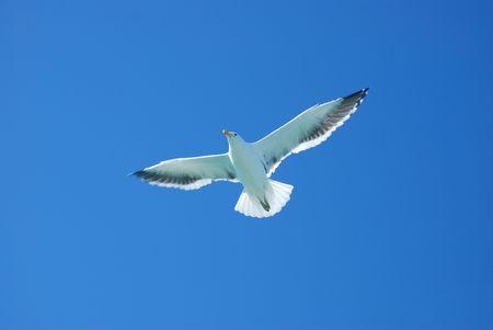 dieren: Vliegende zee meeuw in blauwe hemel met open vleugels