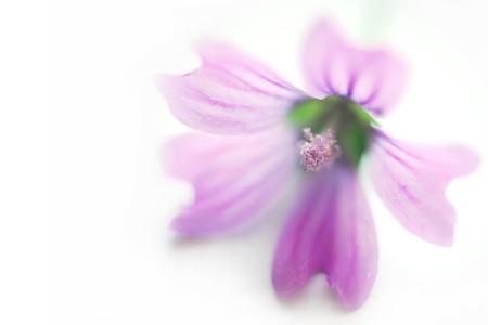 ソフトの外観を持つ白い閉じるに隔絶されてスパ紫花