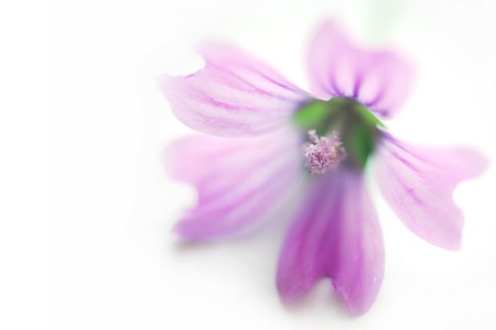 spa purple flower isolated on white close up with soft appearance photo