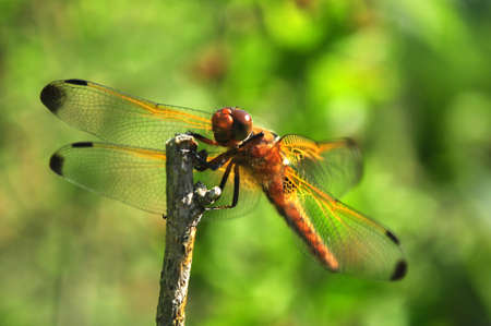 brown dragonfly closeup with green background outdoors photo