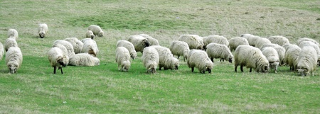 lambing: Sheep and lamb grazing in rural green spring meadow