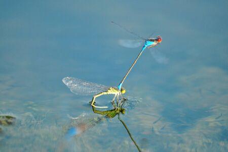faisant l amour: image proche de deux libellules qui font l'amour sur l'eau