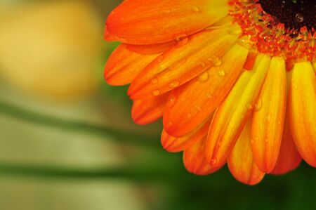 orange gerbera flower with water drops good for wallpaper photo