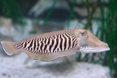 Closeup of a common cuttlefish Sepia officinalis