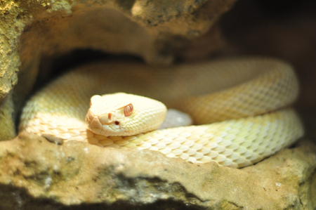 mohave: Albino adult Crotalus scutulatus Northern Mohave Rattlesnake white snake