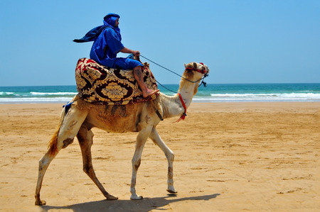berber: morocco berber riding camel on the atlantic ocean beach