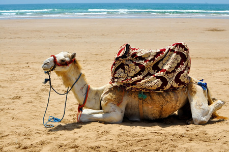 camel in desert: camel rest on the beach sand in morocco agadir taghazout