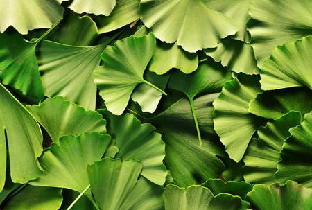 ginkgo biloba tree leaves texture natural pattern