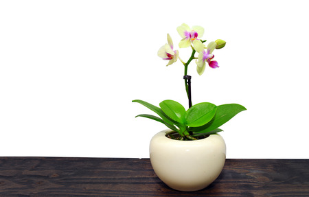 light orchid plant flowers in white round vase 版權商用圖片
