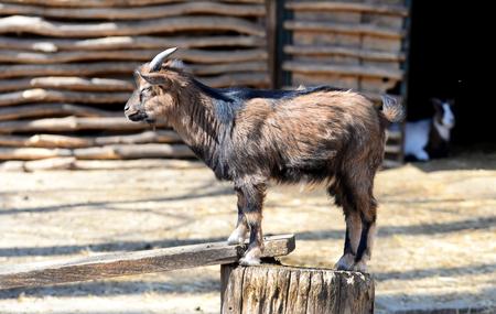 Little kid goat farm animal outdoors view Banco de Imagens
