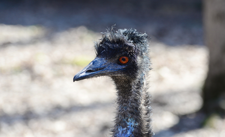 Emu black bird close view head portrait