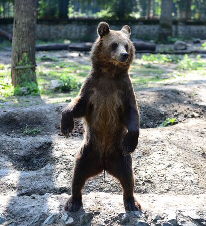 Brown bear animal standing up on two feet close detail