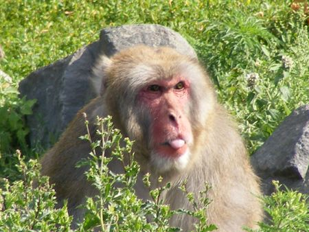 Japanese Snow Monkey sticking out his tongue