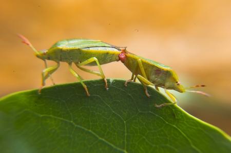 Palomena Prasina  bugs mating Stock Photo - 1490831
