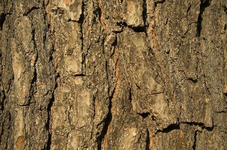 Pinus Hartwegii, pine bark photo