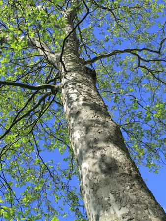 Plain Tree putting on new growth in spring, with dappled sunlight on bark Stock Photo - 4880000