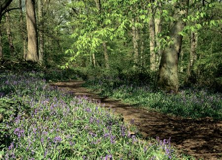 Pathway through a bluebell wood in Hertfordshire. photo
