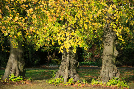 Beech trees with leaves of gold autumn colour. photo