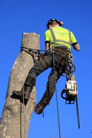 London, United Kingdom, January 9, 2009 : A tree surgeon in a harness removing an unsafe tree