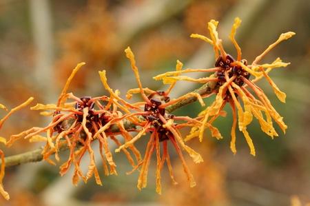 hamamelis: Witch hazel flower in late winter bloom