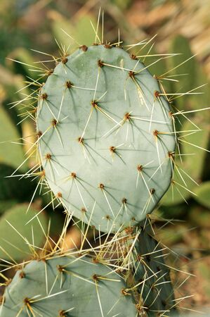 Opuntia Robusta (Prickly Pear Cactus) is a cactus native to Mexico and the western union of the United States photo