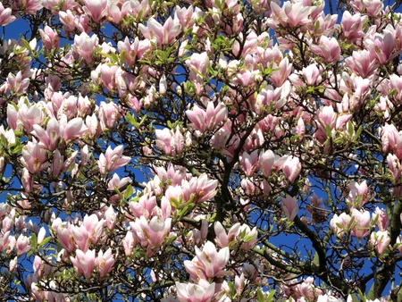 Full frame picture of a magnolia tree in spring, full of pink blossom flowers photo