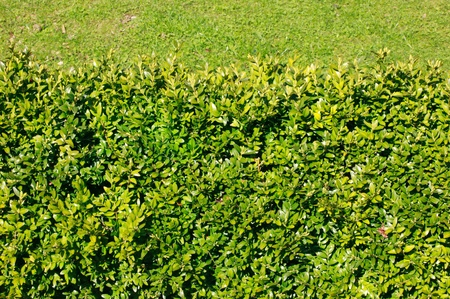 tidying up: Neatly cut green Privet hedge close-up background